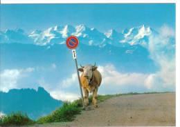 SUISSE - Berner Oberland - Vache - Vaches