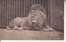 Lion D´Abyssinie. (1028) - Publicité: M. Moorthamers 24 Rue Rubens 21 Rue Wappers - Leones
