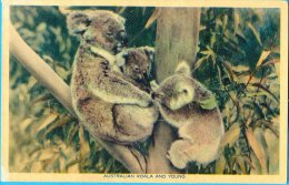 Australia. Koala. - Brisbane