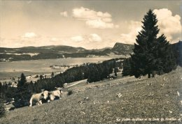 Suisse :  Deux Vaches Au Paturage Dans La Vallée De Joux , Au Loint , La Dent De Vaulion - VD Vaud