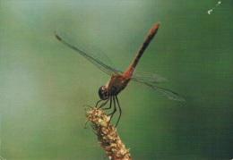 SYMPETRUM ROUGE SANG - Insecte Posé Sur Le Bout D'une Branche - Circulée - Insetti