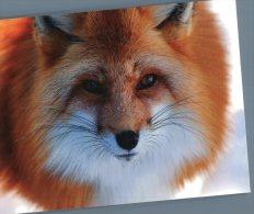 (818) Fox - Renard - Animaux & Faune