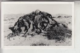 NAMIBIA, Pflanzen In Der Wüste, Verlag: Schirmer-Swakopmund - Namibie