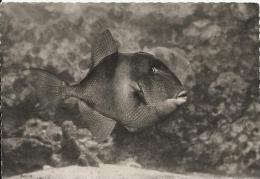 Musée De La Mer. Biarritz.- Baliste . Balistes Capriscus - Pescados Y Crustáceos