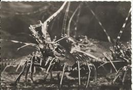 Musée De La Mer. Biarritz.-Langouste -Palinurus Vulgaris - Pescados Y Crustáceos
