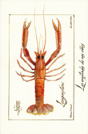 Thematiques Crustace Illustrateur Florence Davout Jean Olivier Heron Nephrops Norvegicus Langoustine - Pesca