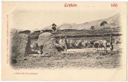 07586g CEYLAN - Phreshing Paddy - Sri Lanka (Ceylon)