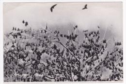 Flying Foxes (chauves-souris) - Koloval - Tongatapu - Pas Circulé, Cpsm 10.2x15, Dos Non CP - Tonga