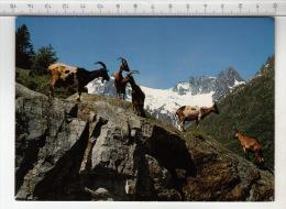Ziegen Auf Der Alp ° Chèvre / Ziege / Goat / Capra - Animaux & Faune