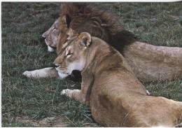 CPM - RESERVE DU PAL - ST POURCAIN S/BESBRE - COUPLE DE LIONS - Edition Edivel - Animals