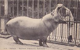 PARIS / MUSEUM / HIPPOPOTAME DU SENEGAL - Hippopotames