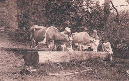 Vaches à L'abreuvoir (8101) - Elevage
