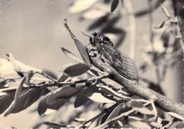 Région Les BELLES IMAGES De PROVENCE La Cigale  (Zoologie Insecte) (Ed : Photo D'Art De PROVENCE Carpentras ) *PRIX FIXE - Provence-Alpes-Côte D'Azur