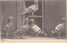 Groupe De Pigeons... - Birds