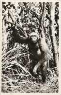 Cameroun - Ref 291- Compagnie Zoologique De Yaoundé - Zoo -singe -theme Singes -gorille - Carte Bon Etat  - - Cameroun
