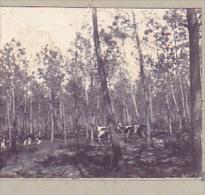 AP- 2 Photos Stereoscopiques 40x45mm Vers 1900. Sans Doute Landes France .vache Promeneur - Photos Stéréoscopiques
