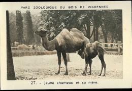 JEUNE CHAMEAU ET SA MERE N°27 Parc Zoologique Du Bois De Vincennes - Animales