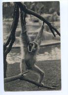 Paris - Parc Zoologique Muséum  - Zoo De Vincennes : Gibbon à Mains Blanches N° 334 - Parcs, Jardins