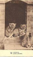 Lionceaux - Jonge Leeuwen - Lion Cubs   Used In Denmark 1937.    S-101 - Lions