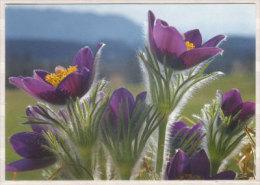 Gemeine Kuhschelle - Bloemen