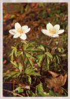 Buschwindröschen - Fleurs