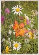 Taubenkropf - Silene Vulgaris , Taglilie - Hemerocallis , Margerite - Chrysanthemum Leucanthemum - Blumen