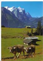 Gummenalp - Hasliberg - Vaches - BE Berne