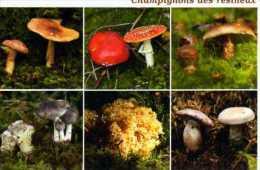 Champignons Des Resineux, Tricholome, Amanite,sparasis,cortinaire - Unclassified