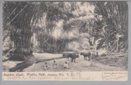 Jamaica Bamboo Glade Worthy Park 1906-03-06 Foto Nach De Wunstorf - Cartes Postales