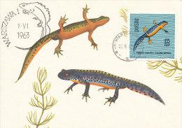 D14261 CARTE MAXIMUM CARD 1963 POLAND - TRITURUS ALPESTRIS CP ORIGINAL - Reptielen & Amfibieën