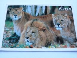 ZOO CERZA. Hermival Les Vaux ,Lisieux .Lions. - Lisieux