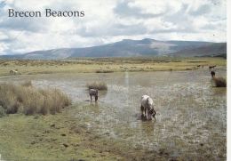 BT18447 Brecon Beacons From Mynydd Lilltud    2 Scans - Breconshire