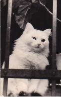Turkey Van Cat Photo - Gatti