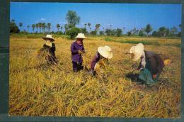THAI FARMER ARE HARVESTING Their Rice   Dac25 - Thailand