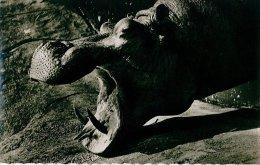 Tête D'hippopotame  ( Belle Carte Dentelée) - Hipopótamos
