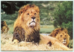 Sigean (11) - Réserve Africaine - Lion - Photo J.-M. Labat - Lions