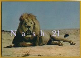 - CPM - Carte Postale ' Non Circulée ' - Lion, ' Réserve Africaine De Sigean ' - - Lions