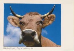 TRENTINO--ALTO ADIGE--SUDTIROL--PACIFICA MA CURIOSA--MUCCA--ANIMALI--FG--V - Italia
