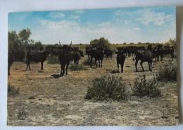 LA CAMARGUE MANADE DE TAUREAUX - Bull