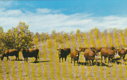 Canada Dual Purpose Herd Of Red Poll Cattle Crystal City Manitoba - Other