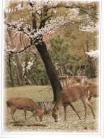 (321) Japan - Nara Deer - Biche - Animales