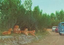 The Lion Park. Vejle Zoo, Denmark.  B-121 - Lions