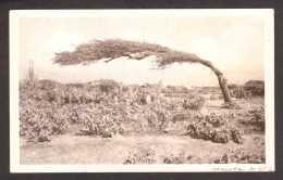 AB2) Aruba - Wind Swept Tree - RPPC - Aruba
