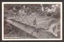 PA16) Bayano River - 5 Dead Alligators & Hunters - Mailed 1934 - RPPC - Panama