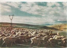 Arménie - Sheep In The Zangezur Mountains - Armenië