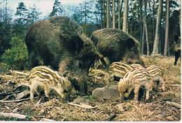 Sangliers Et Marcassins  Wildboars    Everzwijn - Pigs