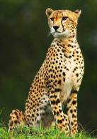 New Postcard, Postkarte, Carte Postale, Animal, Tier, Animale, Cheetah - Animals