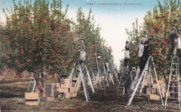 Men On Ladders Picking Up Apples, Apple Orchard, Washington, 1900-1910s - Estados Unidos