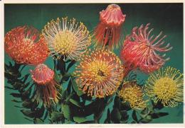 South Africa--Darban--Leucospermum Nutens - Flores