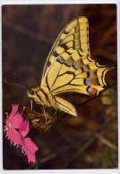 Papillon  Machaon L--Grand Porte Queue ,cpm Suisse - Papillons
